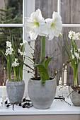 Hippeastrum 'Mont Blanc' (Amaryllis) and Narcissus 'Ziva'