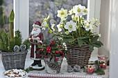 Christmas window with Helleborus niger, Gaultheria procumbens
