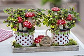 Oxalis deppei 'Iron Cross' in dotted cup with fly agarics