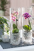 Mini phalaenopsis (malayan flower, butterfly orchid)