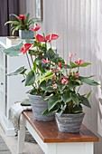 Anthurium andreanum 'Red King' 'Princess Ariana Red'