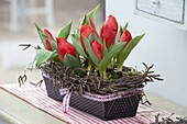 Box baking dish planted with Tulipa 'Red Paradise' (tulip)