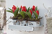 Tulipa 'Red Paradise' in old enamel cups on wallboard