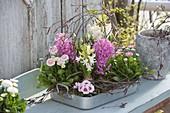 Bellis, Hyacinthus 'Pink Pearl', 'White Pearl'
