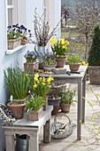 Spring terrace with daffodil and crocuses in terracotta