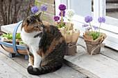 Katze Minka mit Primula denticulata 'Blaue Auslese' 'Rubin Auslese' 'Alba'