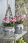 Bellis (daisies) in zinc buckets with branches of Salix
