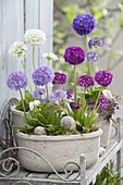 Primula denticulata 'Blue Elite', 'Rubin Elite', 'Alba'
