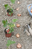 Plant mixed culture bed with strawberries and onions