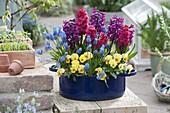 Blue enamel pot with viola cornuta 'Beacon Yellow'
