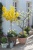 Forsythia 'Weekend' (gold bells), pear 'Alexander Lukas'