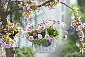 Basket with Bellis Tasso 'Strawberry & Cream' and Hedera
