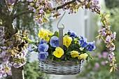 Viola wittrockiana Mariposa 'Primrose' 'Light Blue' in basket