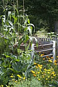 Sweetcorn, corn as a privacy screen against composting, zucchini