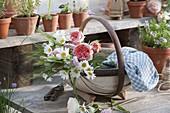 Frisch geschnittene Blumen für Strauss : Leucanthemum vulgare (Margerite)