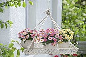 Tray hung as a flower basket with Argyranthemum frutescens