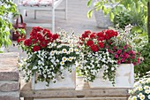Verbena Estrella 'Vampire Red' (verbena), Bacopa 'Mega White'