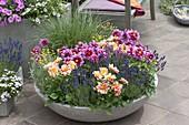 Bowl of lavender 'Hidcote Blue', Dahlia Dreamy