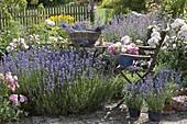 Lavender harvest in the garden