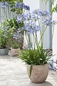 Divide and replant African lily