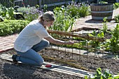Growing sugar pea 'ambrosia' in the organic garden