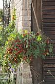 Traffic light tomato 'Tumbler' in home-made basket
