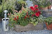 Naschkiste mit Paprika, Peperoni (Capsicum annuum), Dahlia (Dahlie), Salvia