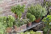 Mini basil 'Picolino', shrub basil kilimandscharicum x basil