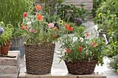 Sow poppy in baskets
