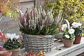 Basket with Calluna vulgaris 'Twin Girls'