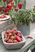 Holzschale mit frisch geernteten Paprika und Peperoni , Chili (Capsicum)