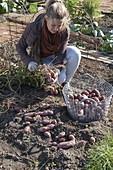 Potatoes growing in organic garden