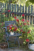 Colorful cottage garden bouquet in zinc tube on blue chair, Zinnia