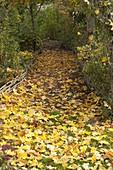 Goldener Herbst : goldgelbe Blätter von Acer platanoides (Ahorn)