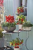 Physalis (Lampionblumen) als herbstlicher Hingucker in Schale, Toepfen