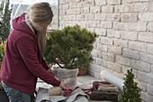 Pack Pinus mugo 'Pug' (Dwarf Pine) in winter-proof