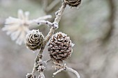 Frozen branch of Larix (larch) with cones