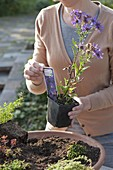 Woman planting terracotta bowl with fat hen and various thyme