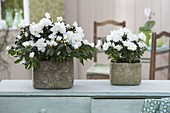 Rhododendron simsii (room azalea) in rustic planters
