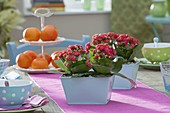Table decoration with Kalanchoe Calandiva 'Red'