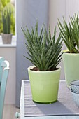 Sansevieria francisii (sheet hemp) in green glass planter
