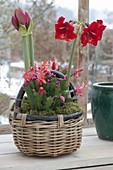 Henkel basket planted with Hippeastrum 'Royal Red' (Amaryllis)