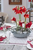 Tin bowl with Hippeastrum (Amaryllis) as a table decoration