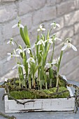 Galanthus (snowdrop) with moss and twigs in wooden boxes