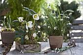 Helleborus niger and Galanthus nivalis