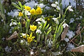 Eranthis hyemalis and Galanthus in moss