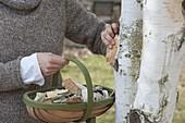 Birkenrinde zu Dekozwecken abschälen