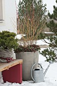 Winter terrace with Pinus mugo 'Pug' (pine) with winter protection