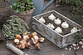Plant Onion flowers in autumn, wood box with onions of allium