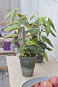 Begonia maculata 'Tamaya' (trout begonia) in gray pots